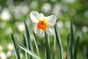 Daffodil, Kew Gardens