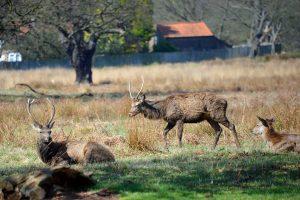 Deer, Richmond