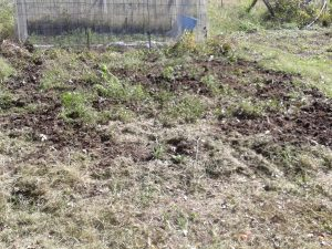 Manure on my garden, ready to be worked in. Photo by D L Kovacs