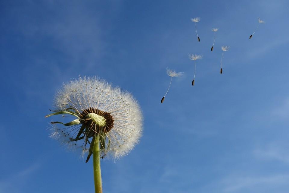 Dandelion. Photo by Michael Schwarzenberger. From Pixabay. Free use.