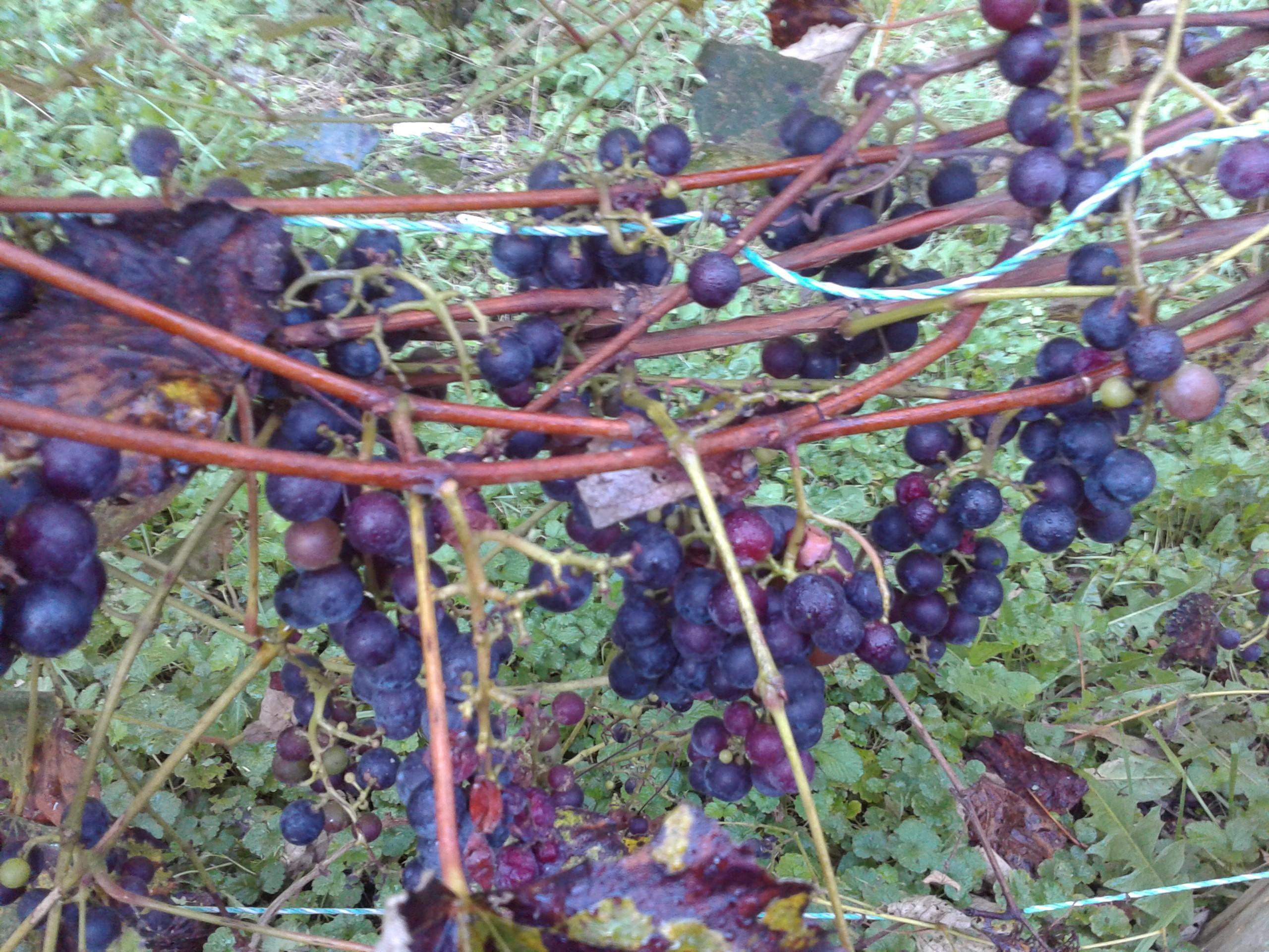 grapes-2013-01