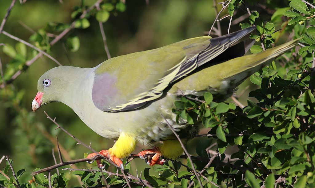 african-green-pigeons-wikimedia-commons